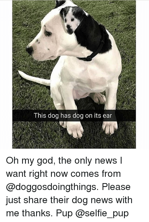 God, Memes, and News: This dog has dog on its ear Oh my god, the only news I want right now comes from @doggosdoingthings. Please just share their dog news with me thanks. Pup @selfie_pup