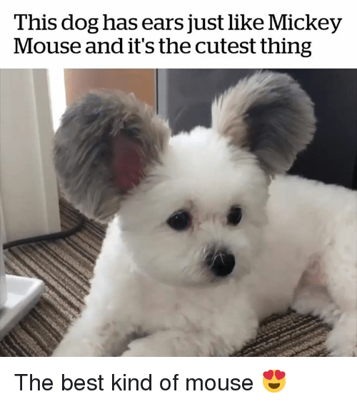 Mickey Mouse: This dog has ears just like Mickey  Mouse and it's the cutest thing The best kind of mouse 😍