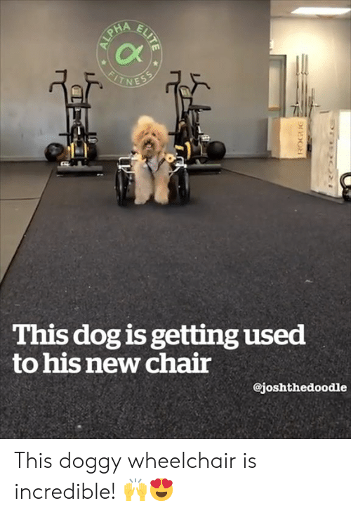 Chair, Dog, and New: This dog is getting used  to his new chair  @joshthedoodle This doggy wheelchair is incredible! 🙌😍