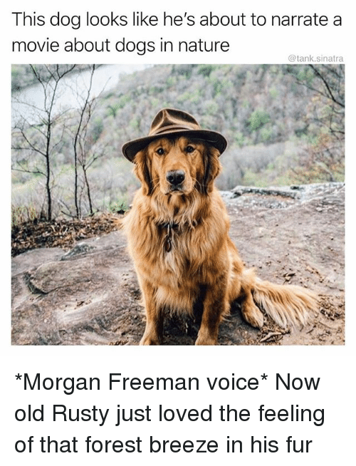 Dogs, Funny, and Morgan Freeman: This dog looks like he's about to narrate a  movie about dogs in nature  @tank.sinatra *Morgan Freeman voice* Now old Rusty just loved the feeling of that forest breeze in his fur