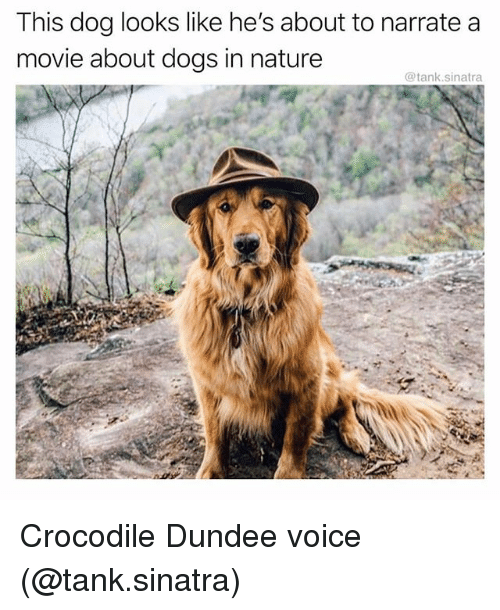 Dogs, Funny, and Movie: This dog looks like he's about to narrate a  movie about dogs in nature  @tank.sinatra Crocodile Dundee voice (@tank.sinatra)