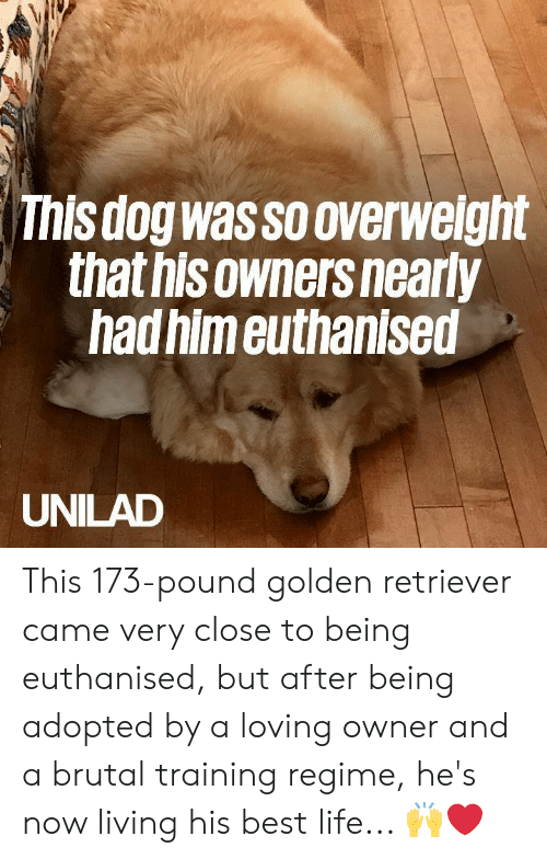 Dank, Life, and Best: This dog wassooverweight  that hisowners nearly  hadhim euthanised  UNILAD This 173-pound golden retriever came very close to being euthanised, but after being adopted by a loving owner and a brutal training regime, he's now living his best life... 🙌❤️️