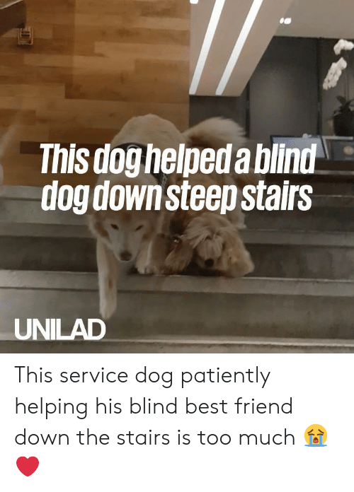 Best Friend, Dank, and Too Much: This doghelpeda bilnd  dog downsteep stairs  UNILAD This service dog patiently helping his blind best friend down the stairs is too much 😭❤️️