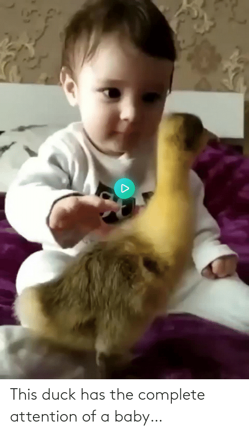 Baby: This duck has the complete attention of a baby…