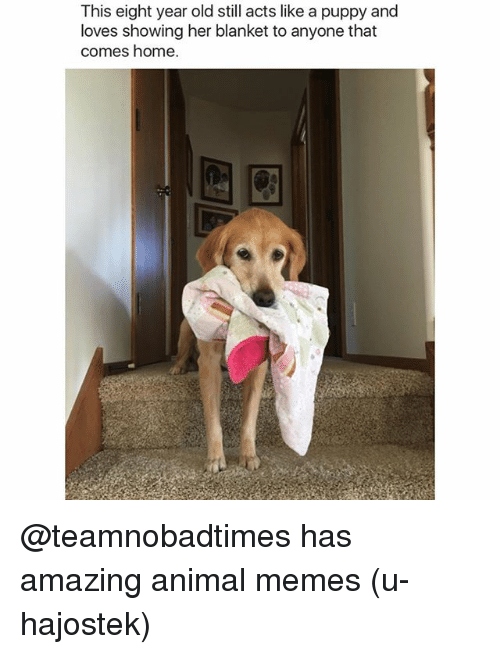 Funny, Memes, and Animal: This eight year old still acts like a puppy and  loves showing her blanket to anyone that  comes home @teamnobadtimes has amazing animal memes (u-hajostek)