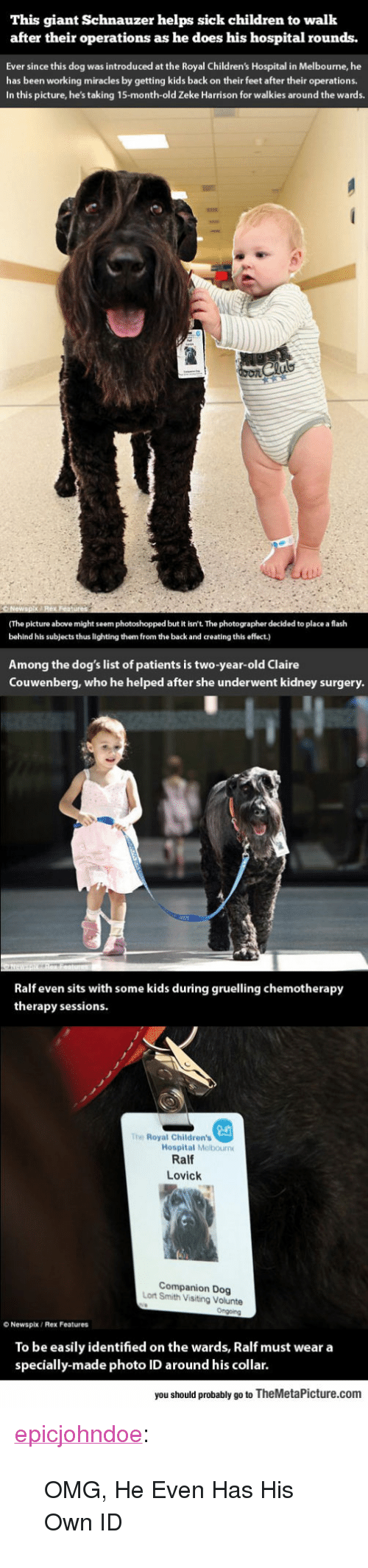 "Children, Dogs, and Omg: This giant Schnauzer helps sick children to walk  after their operations as he does his hospital rounds.  Ever since this dog was introduced at the Royal Children's Hospital in Melbourne, he  has been working miracles by getting kids back on their feet after their operations.  In this picture, he's taking 15-month-old Zeke Harrison for walkies around the wards.  (The picture above might seem photoshopped but it isn't. The photographer decided to place a flash  behind his subjects thus lighting them from the back and creating this effect.)  Among the dog's list of patients is two-year-old Claire  Couwenberg, who he helped after she underwent kidney surgery  Ralf even sits with some kids during gruelling chemotherapy  therapy sessions  The Royal Children's  Hospital Melbourn  Ralf  Lovick  Companion Dog  Lort Smith Visiting Volunte  O Newspix/ Rex Features  To be easily identified on the wards, Ralf must wear a  specially-made photo ID around his collar.  you should probably go to TheMetaPicture.com <p><a href=""https://epicjohndoe.tumblr.com/post/170360145056/omg-he-even-has-his-own-id"" class=""tumblr_blog"">epicjohndoe</a>:</p>  <blockquote><p>OMG, He Even Has His Own ID</p></blockquote>"