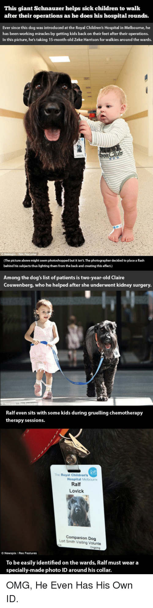 Children, Dogs, and Omg: This giant Schnauzer helps sick children to walk  after their operations as he does his hospital rounds.  Ever since this dog was introduced at the Royal Children's Hospital in Melbourne, he  has been working miracles by getting kids back on their feet after their operations  In this picture, he's taking 15-month-old Zeke Harrison for walkies around the wards.  (The picture above might seem photoshopped but it isn't The photographer decided to place a flash  behind his subjects thus lighting them from the back and creating this effect.)  Among the dog's list of patients is two-year-old Claire  Couwenberg, who he helped after she underwent kidney surgery.  Ralf even sits with some kids during gruelling chemotherapy  therapy sessions.  2a  Hospital Melbourn  The Royal Children's  Ralf  Lovick  Companion Dog  Lort Smith Visiting Volunte  O Newspx  Rex Features  To be easily identified on the wards, Ralf must wear a  specially-made photo ID around his collar. <p>OMG, He Even Has His Own ID.</p>