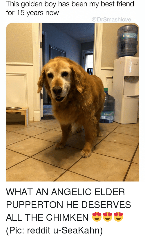 Angelic: This golden boy has been my best friend  for 15 years now  @DrSmashlove  D PRIMOh  PRIM  PRIM WHAT AN ANGELIC ELDER PUPPERTON HE DESERVES ALL THE CHIMKEN 😍😍😍 (Pic: reddit u-SeaKahn)