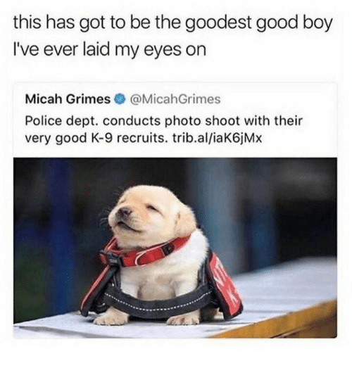 Police, Good, and Boy: this has got to be the goodest good boy  I've ever laid my eyes on  Micah Grimes @MicahGrimes  Police dept. conducts photo shoot with their  very good K-9 recruits. trib.al/iaK6jMx