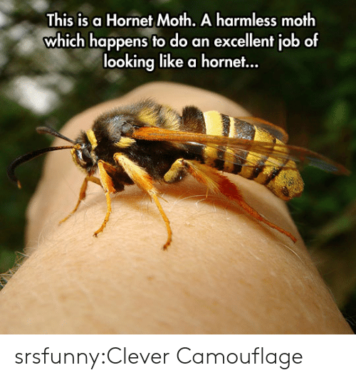 Tumblr, Blog, and Http: This is a Hornet Moth. A harmless moth  which happens to do an excellent job of  looking like a hornet... srsfunny:Clever Camouflage