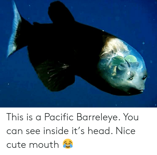 Cute, Head, and Nice: This is a Pacific Barreleye. You can see inside it's head. Nice cute mouth 😂