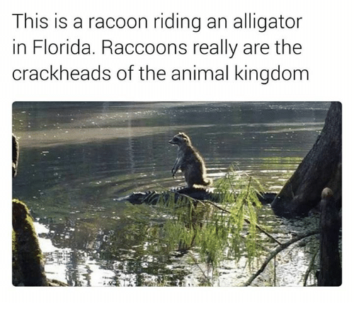 racoon: This is a racoon riding an alligator  in Florida. Raccoons really are the  crackheads of the animal kingdom