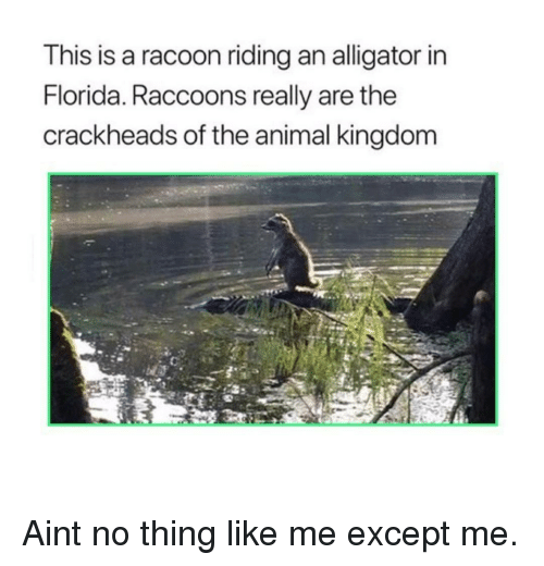 racoon: This is a racoon riding an alligator in  Florida. Raccoons really are the  crackheads of the animal kingdom Aint no thing like me except me.