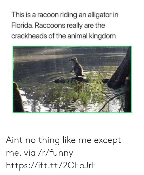 racoon: This is a racoon riding an alligator in  Florida. Raccoons really are the  crackheads of the animal kingdom Aint no thing like me except me. via /r/funny https://ift.tt/2OEoJrF