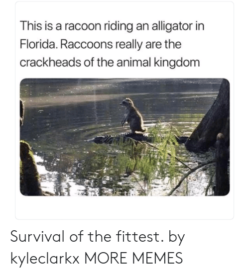 racoon: This is a racoon riding an alligator in  Florida. Raccoons really are the  crackheads of the animal kingdom Survival of the fittest. by kyleclarkx MORE MEMES