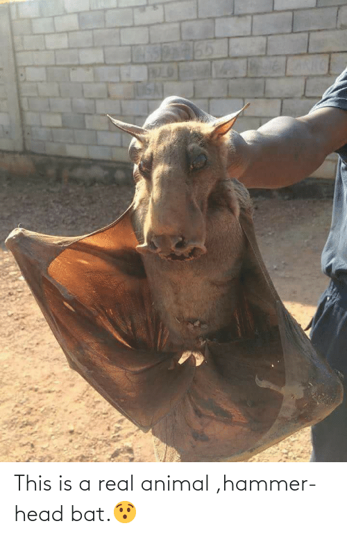 hammer: This is a real animal ,hammer-head bat.😯