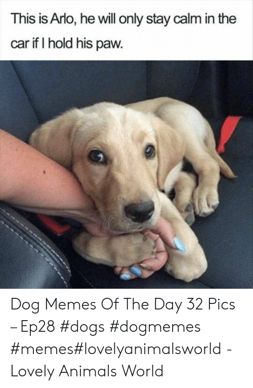 Animals, Dogs, and Memes: This is Arlo, he will only stay calm in the  car if I hold his paw. Dog Memes Of The Day 32 Pics – Ep28 #dogs #dogmemes #memes#lovelyanimalsworld - Lovely Animals World