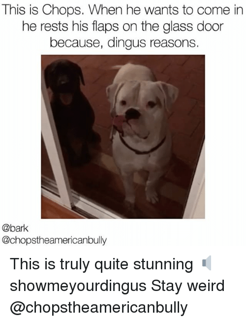chops: This is Chops. When he wants to come in  he rests his flaps on the glass door  because, dingus reasons.  @bank  @chopstheamericanbully This is truly quite stunning 🔈 showmeyourdingus Stay weird @chopstheamericanbully