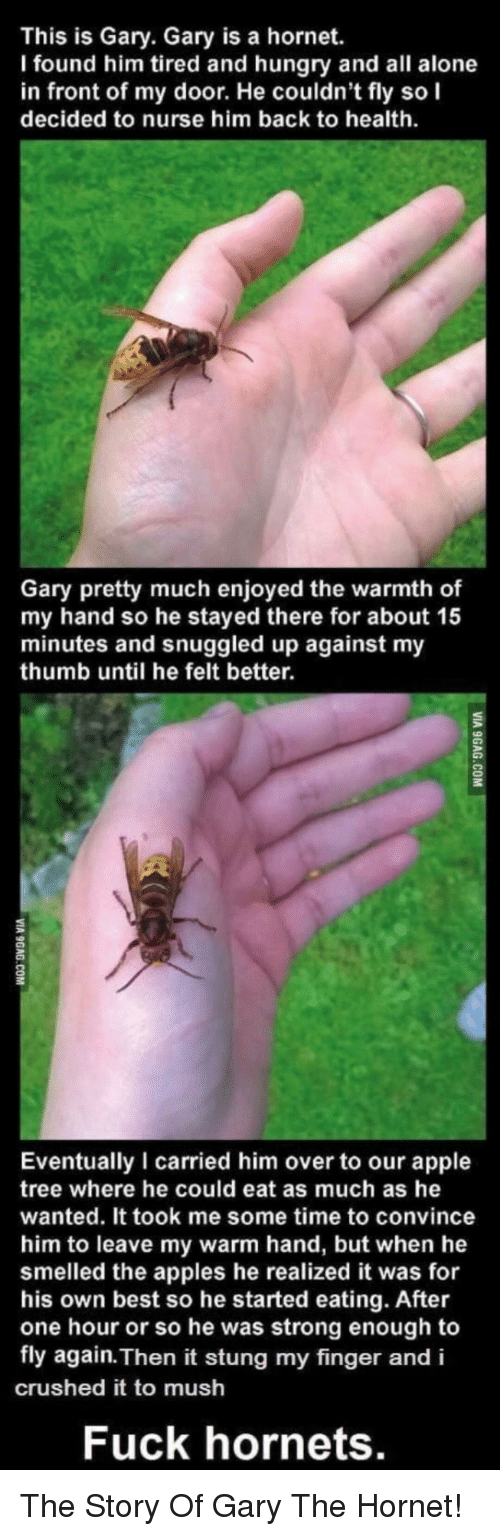 Found Him: This is Gary. Gary is a hornet.  I found him tired and hungry and all alone  in front of my door. He couldn't fly so I  decided to nurse him back to health  Gary pretty much enjoyed the warmth of  my hand so he stayed there for about 15  minutes and snuggled up against my  thumb until he felt better.  2  Eventually I carried him over to our apple  tree where he could eat as much as he  wanted. It took me some time to convince  him to leave my warm hand, but when he  smelled the apples he realized it was for  his own best so he started eating. After  one hour or so he was strong enough to  fly again. Then it stung my finger and i  crushed it to mush  Fuck hornets. The Story Of Gary The Hornet!