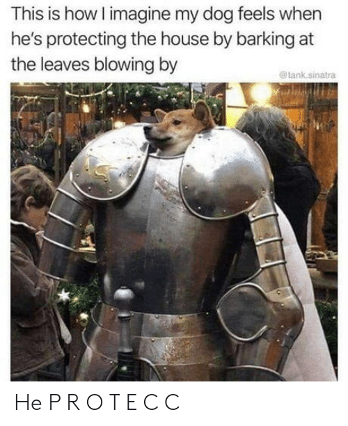 protecting: This is how I imagine my dog feels when  he's protecting the house by barking at  the leaves blowing by  @tank.sinatra He P R O T E C C