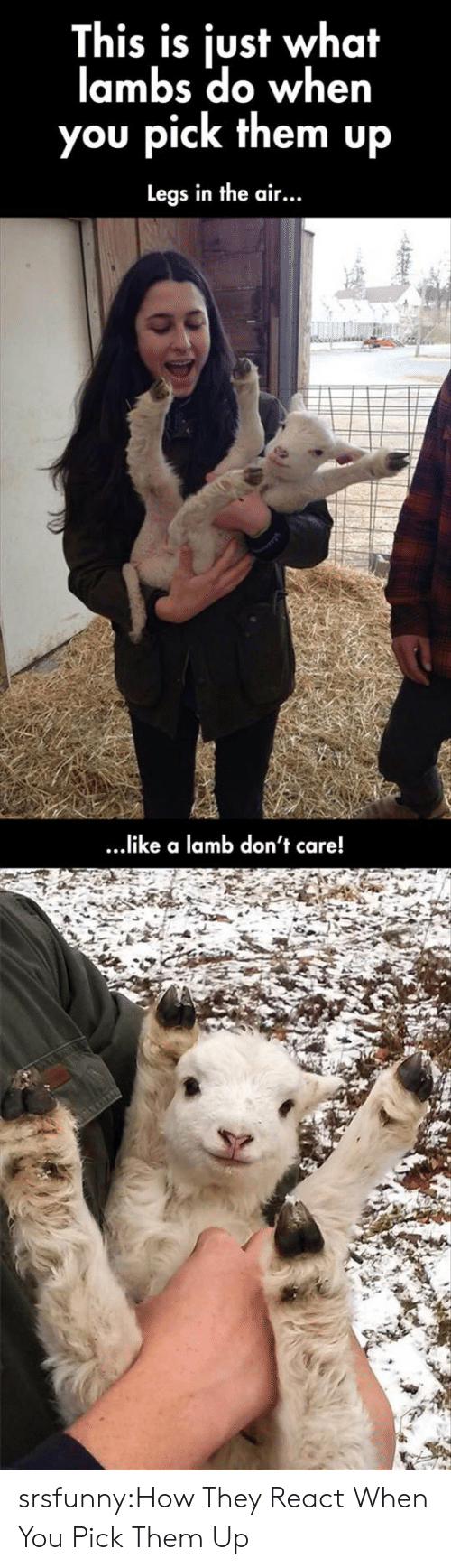 lamb: This is just what  lambs do when  you pick them up  Legs in the air...  ...ike a lamb don't care! srsfunny:How They React When You Pick Them Up