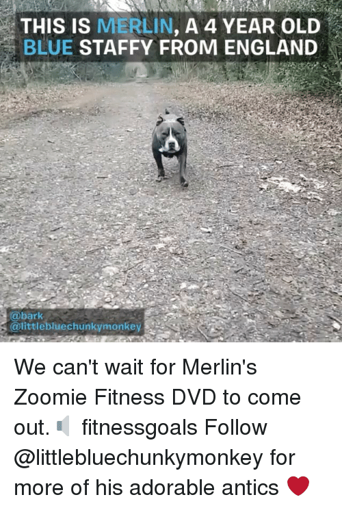 England, Memes, and Blue: THIS IS MERLIN, A 4 YEAR OLD  BLUE STAFFY FROM ENGLAND  @bark  littlebluechunkymonkey We can't wait for Merlin's Zoomie Fitness DVD to come out.🔈 fitnessgoals Follow @littlebluechunkymonkey for more of his adorable antics ❤️