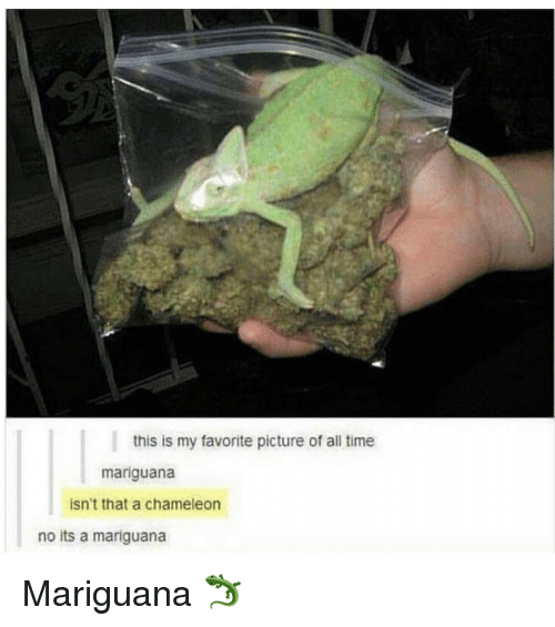 Chameleon, Time, and All: this is my favorite picture of all time  mariguana  isn't that a chameleon  no its a mariguana Mariguana 🦎