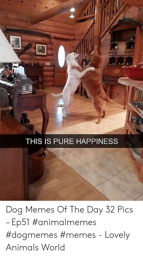 Animals, Memes, and World: THIS IS PURE HAPPINESS Dog Memes Of The Day 32 Pics – Ep51 #animalmemes #dogmemes #memes - Lovely Animals World