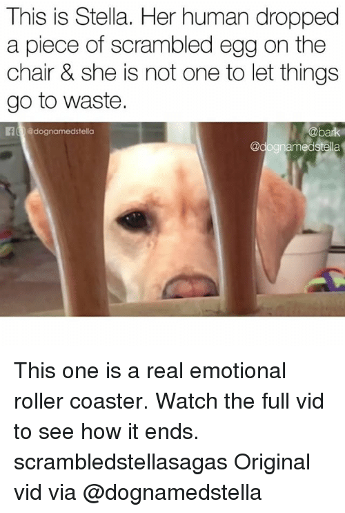 Rollers: This is Stella. Her human dropped  a piece of scrambled egg on the  chair & she is not one to let things  go to waste.  E @dognamedstella  @bark This one is a real emotional roller coaster. Watch the full vid to see how it ends. scrambledstellasagas Original vid via @dognamedstella