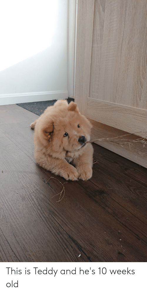 Aww Memes: This is Teddy and he's 10 weeks old
