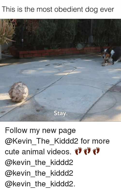 Cute, Memes, and Videos: This is the most obedient dog ever  Stay. Follow my new page @Kevin_The_Kiddd2 for more cute animal videos. 👣👣👣@kevin_the_kiddd2 @kevin_the_kiddd2 @kevin_the_kiddd2.