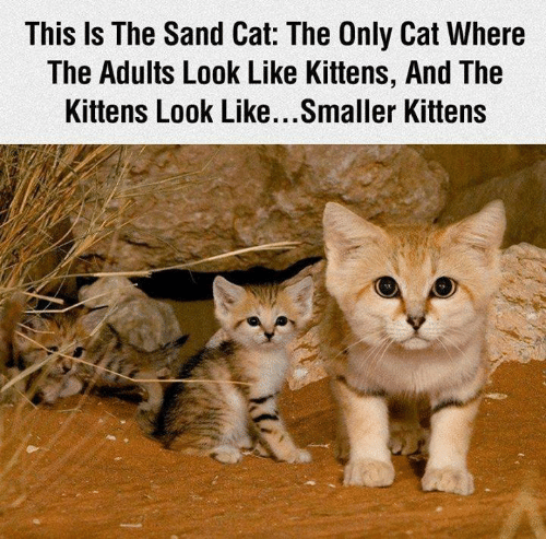 Memes, Kittens, and 🤖: This Is The Sand Cat: The Only Cat Where  The Adults Look Like Kittens, And The  Kittens Look Like...Smaller Kittens