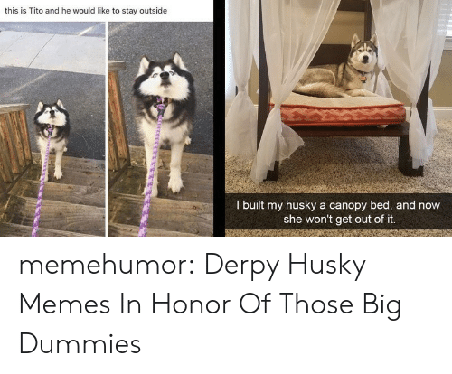 Memes, Tumblr, and Blog: this is Tito and he would like to stay outside  I built my husky a canopy bed, and now  she won't get out of it. memehumor:  Derpy Husky Memes In Honor Of Those Big Dummies