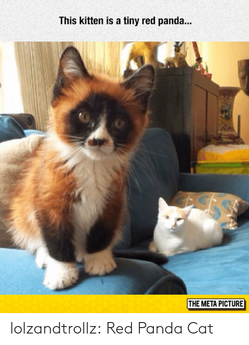 Tumblr, Panda, and Blog: This kitten is a tiny red panda..  THE META PICTURE lolzandtrollz:  Red Panda Cat