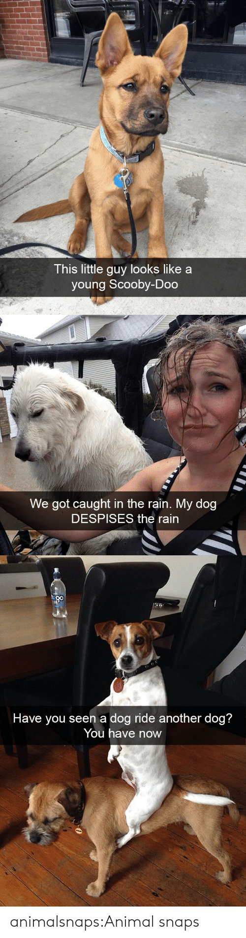 little guy: This little guy looks like a  young Scooby-Doo   We got caught in the rain. My dog  DESPISES the rain   n a dog ride an  Have you see otner dog?  You have now animalsnaps:Animal snaps