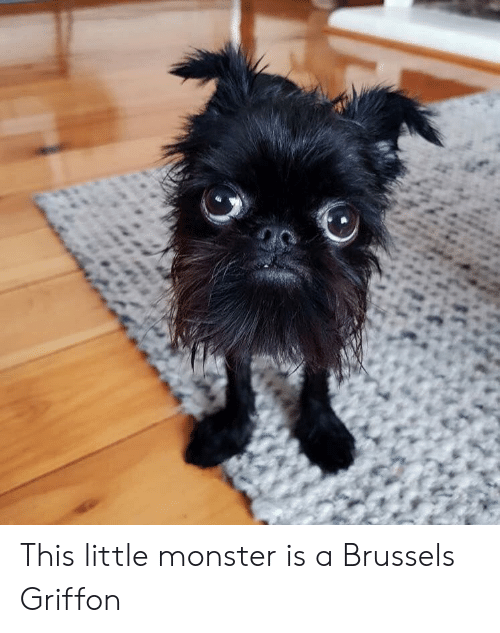 griffon: This little monster is a Brussels Griffon