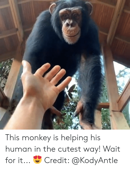 wait for it: This monkey is helping his human in the cutest way! Wait for it... 😍  Credit: @KodyAntle