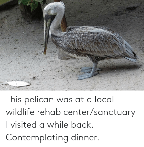 Visited: This pelican was at a local wildlife rehab center/sanctuary I visited a while back. Contemplating dinner.