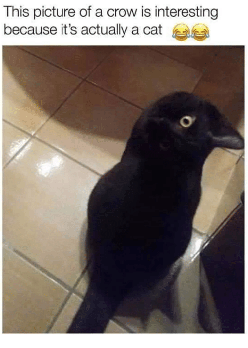 Memes, 🤖, and Cat: This picture of a crow is interesting  because it's actually a cat