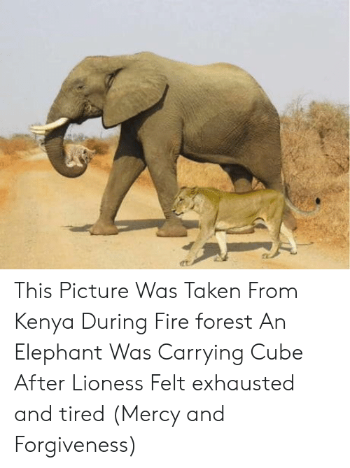 lioness: This Picture Was Taken From Kenya During Fire forest An Elephant Was Carrying Cube After Lioness Felt exhausted and tired (Mercy and Forgiveness)