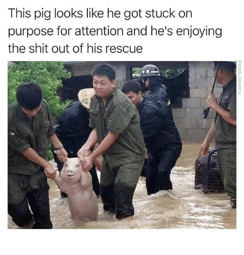 Memes, Shit, and 🤖: This pig looks like he got stuck on  purpose for attention and he's enjoying  the shit out of his rescue