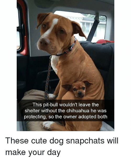 Chihuahua, Cute, and Funny: This pit-bull wouldn't leave the  shelter without the chihuahua he was  protecting, so the owner adopted both These cute dog snapchats will make your day