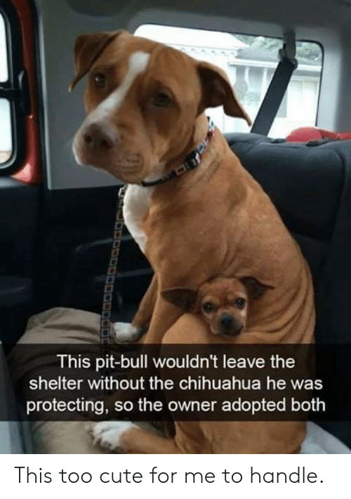 too cute: This pit-bull wouldn't leave the  shelter without the chihuahua he was  protecting, so the owner adopted both This too cute for me to handle.