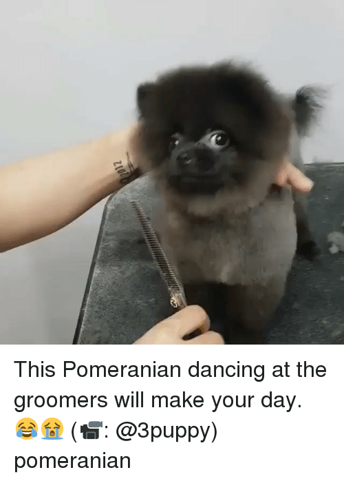 Dancing, Memes, and Pomeranian: This Pomeranian dancing at the groomers will make your day. 😂😭 (📹: @3puppy) pomeranian