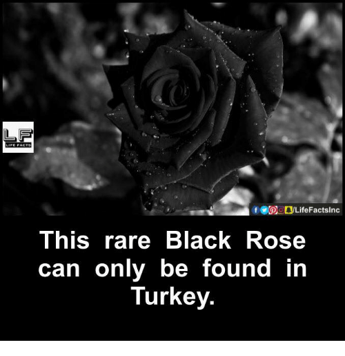black rose: This rare Black Rose  can only be found in  Turkey.