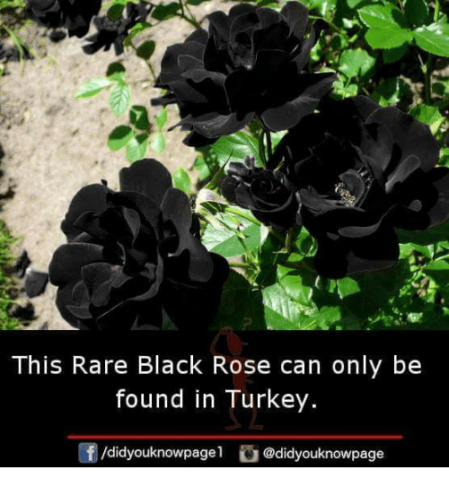 black rose: This Rare Black Rose can only be  found in Turkey.  /didyouknowpage1  G @didyouknowpage