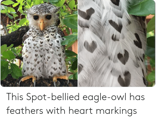 Eagle, Heart, and Owl: This Spot-bellied eagle-owl has feathers with heart markings