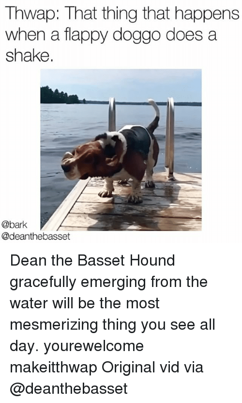 Memes, Water, and 🤖: Thwap: That thing that happens  when a flappy doggo does a  shake  @bark  @deanthebasset Dean the Basset Hound gracefully emerging from the water will be the most mesmerizing thing you see all day. yourewelcome makeitthwap Original vid via @deanthebasset