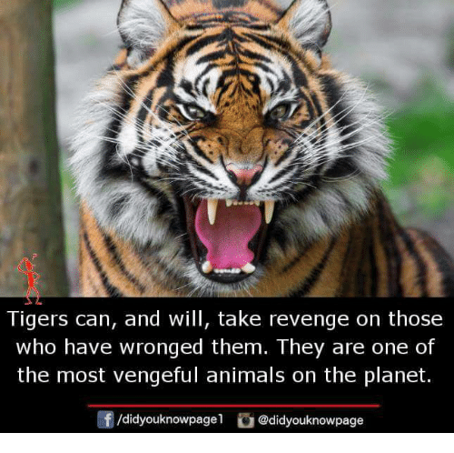 Animals, Memes, and Revenge: Tigers can, and will, take revenge on those  who have wronged them. They are one of  the most vengeful animals on the planet.  /didyouknowpagel  @didyouknowpage
