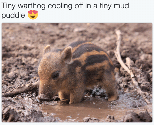 cooling-off: Tiny warthog cooling off in a tiny mud  puddle